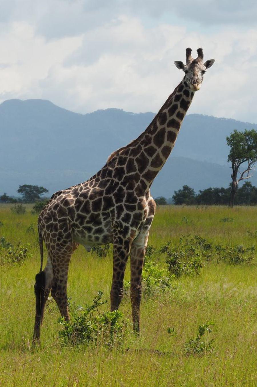 Majestätische Giraffen im Ruaha Nationalpark Tansania
