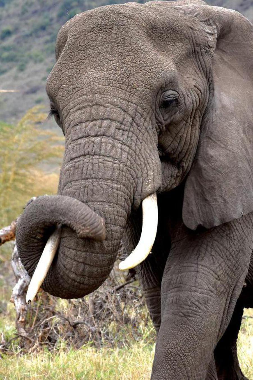 Elefant im Ruaha Nationalpark Tansania