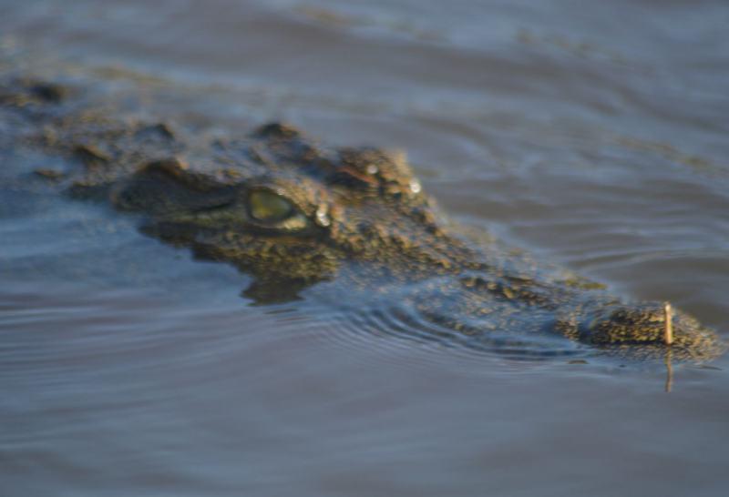 Krokodil im Rufiji River