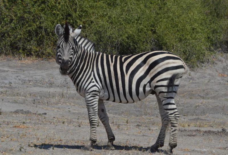 Zebra im Mikumi