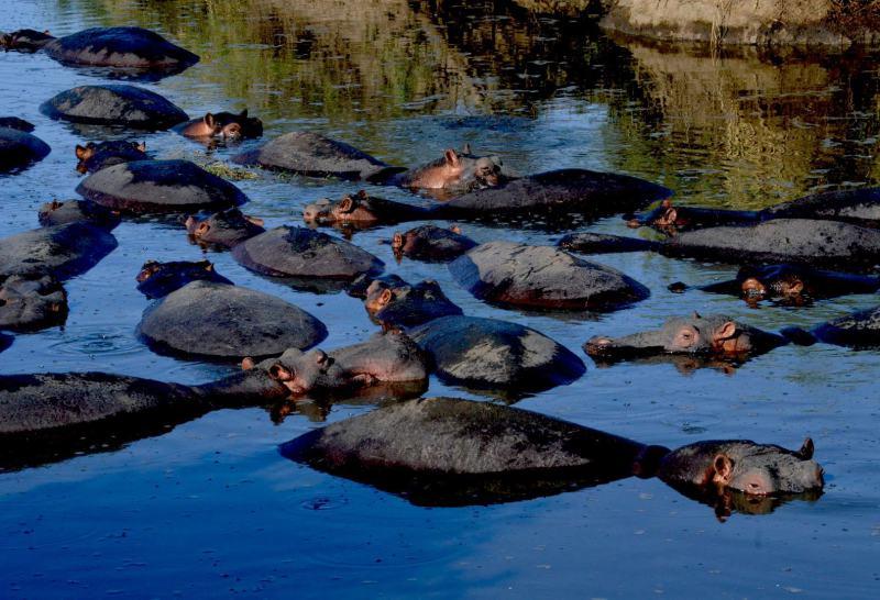 Nielpferdfamilie im Katavi Nationalpark