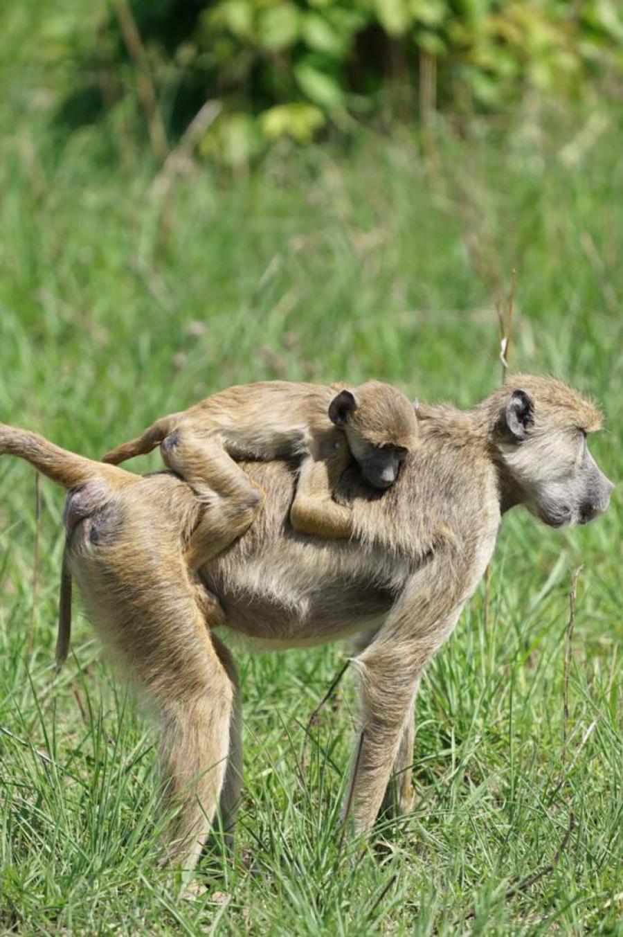 Pavianmama mit ihrem Baby im Ruaha Nationalpark
