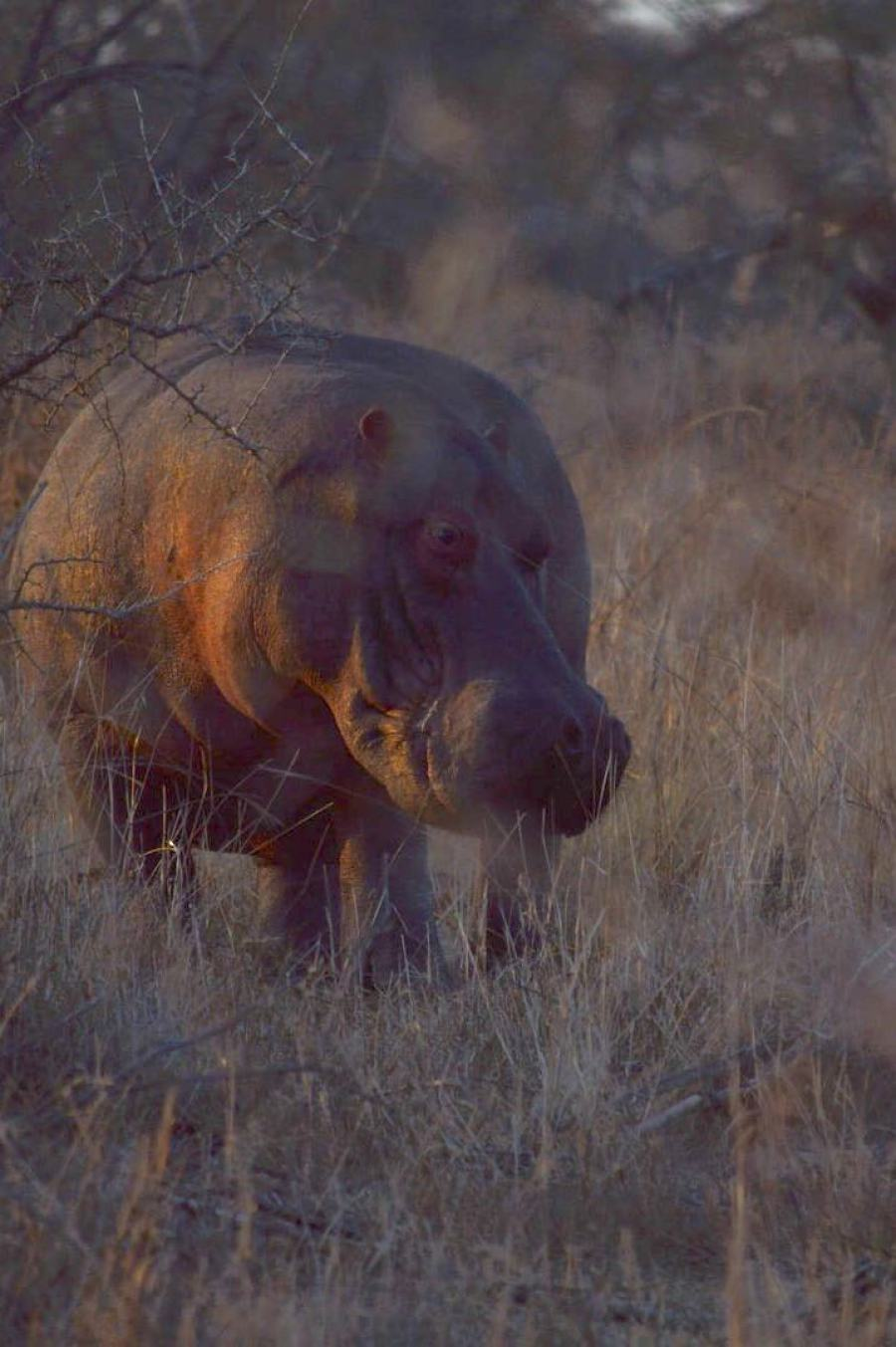 Hippo im Mikumi Nationalpark Tansania