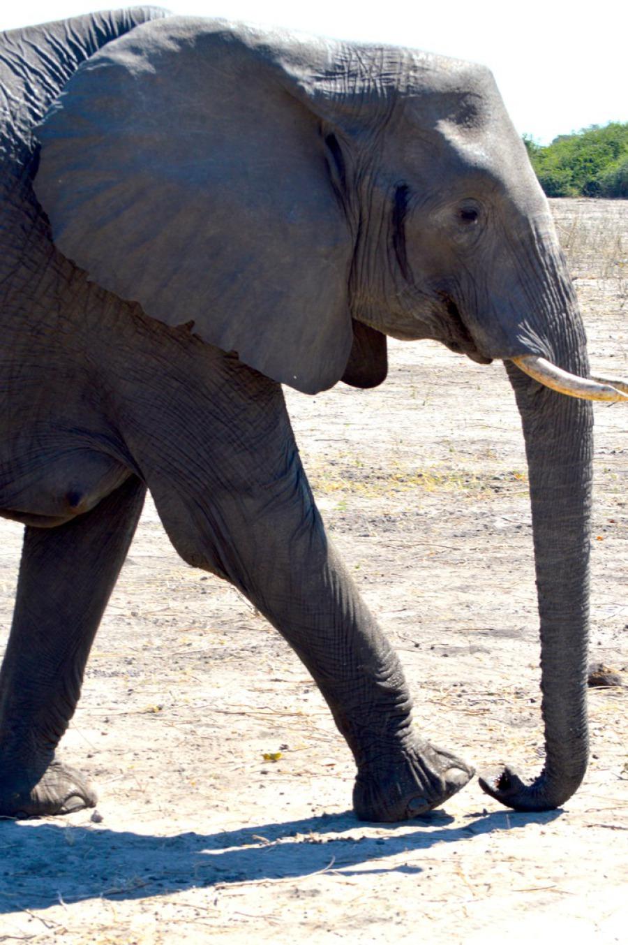 Elefant in Khwai