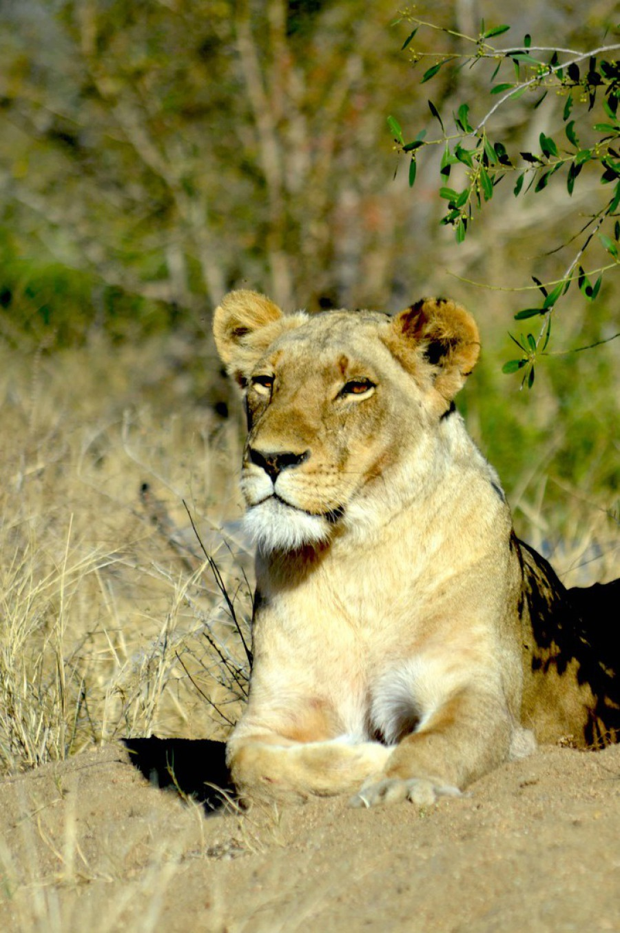 Löwin im Krüger Nationalpark