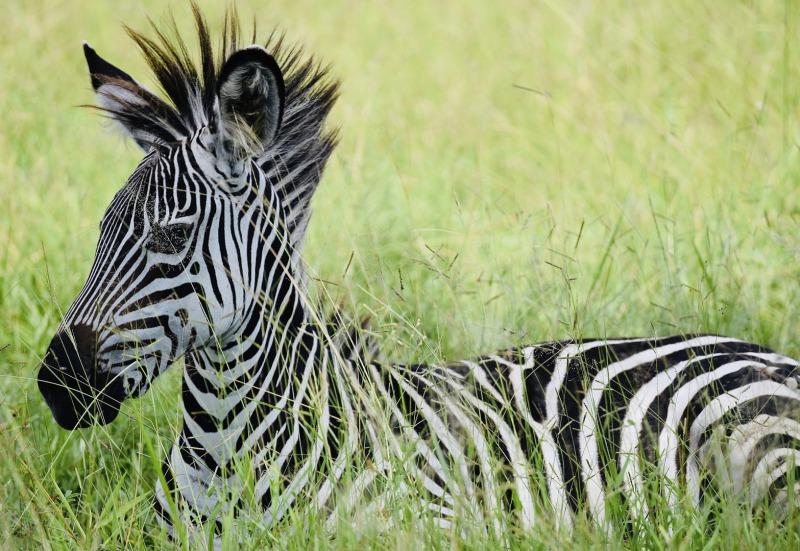 Zebrababy im hohen Gras Westtansania