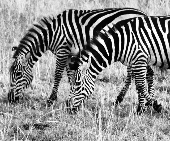 Zebras beim fressen am Lake Manyara zu beobachten