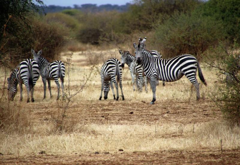 Zebraherde im Tarangire Nationalpark/Nordtansania