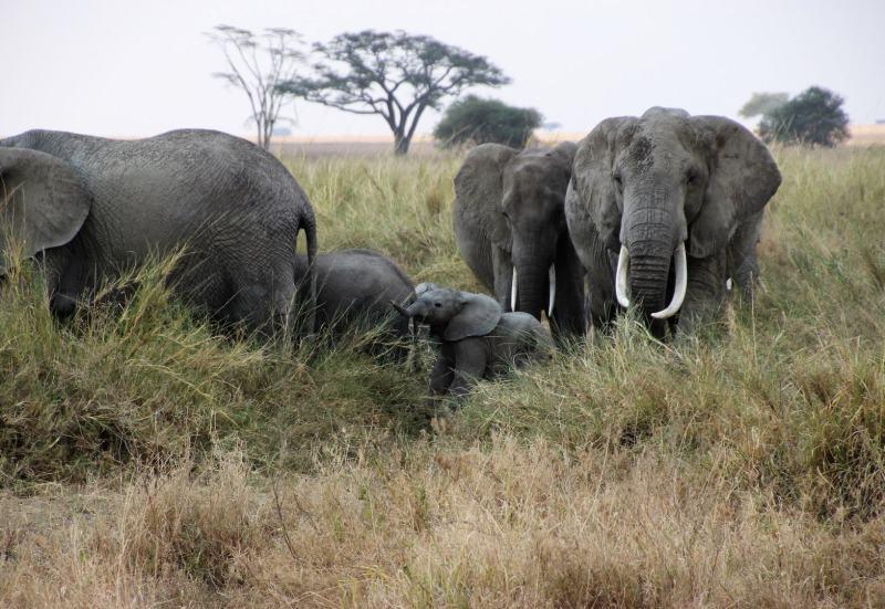 Elefantenherden in der Serengeti Tansania