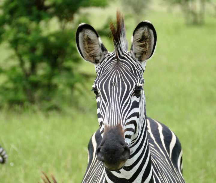 Ein Zebra im Ngorongoro