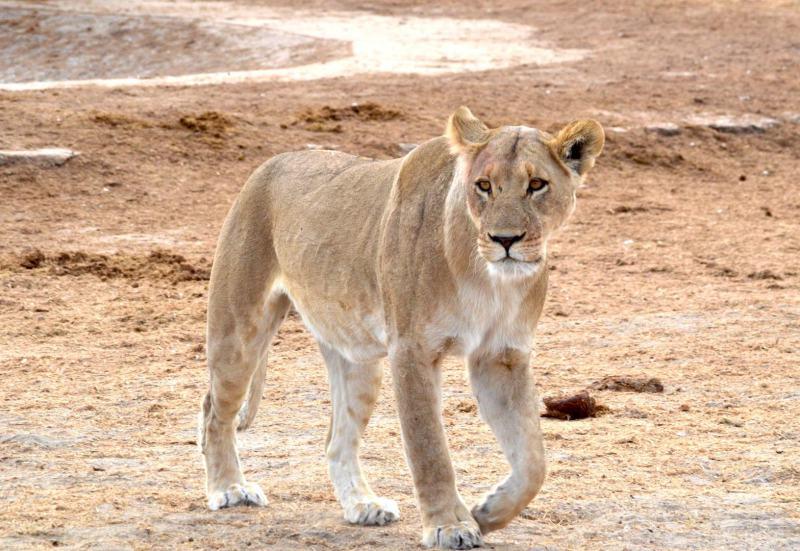 Löwin im Savuti
