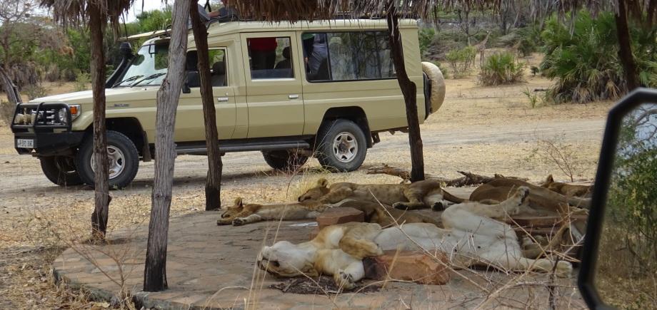 Schlafende Löwen im Selous