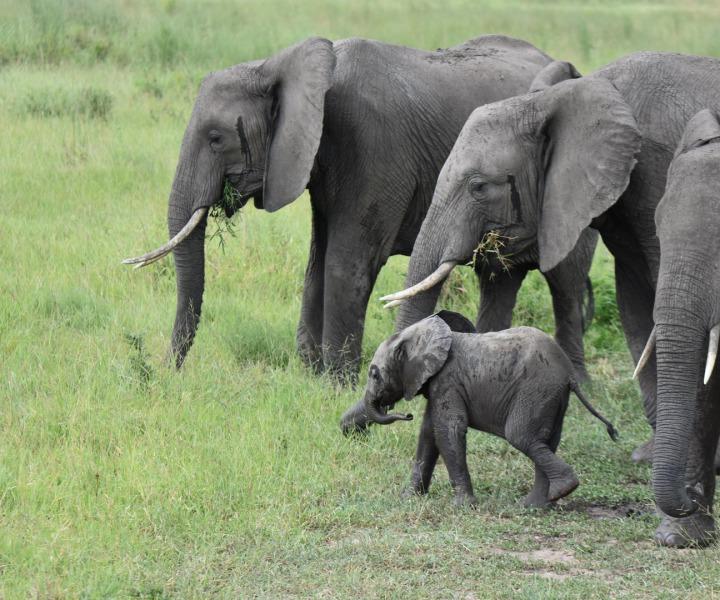 Elefantenherden im Ruaha zur Regenzeit