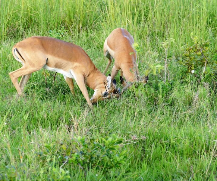 Nielpferde im Katavi Nationalpark