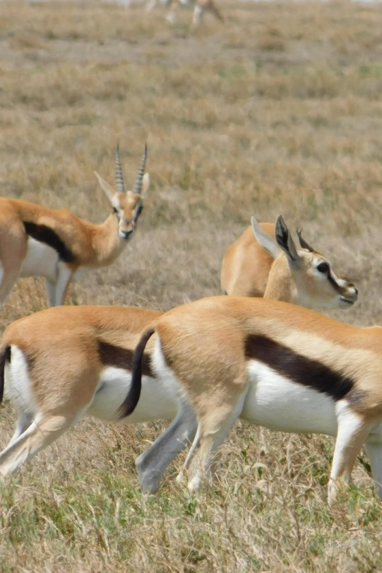 Impalas im Lake Manyara Nationlpark