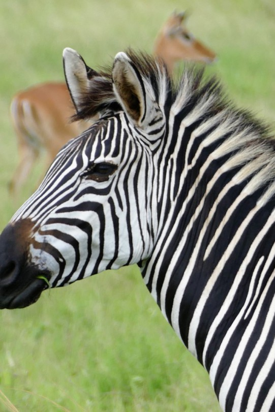 Zebra und Impala im Serengeti Nationlpark